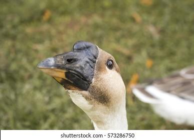 Goose photobombing