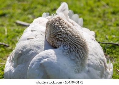 goose at rest at Lofoten in Norway