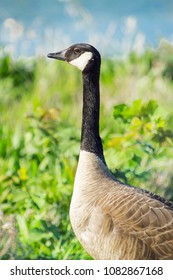 Goose in the Spring