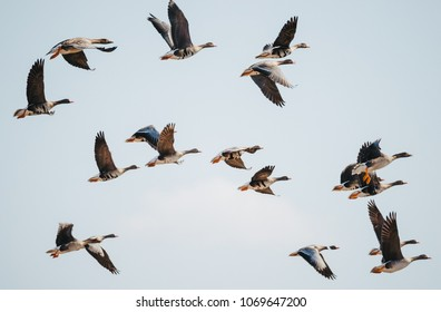 Goose. Spring. Fly. Sky.