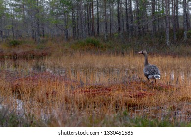 goose in the swamp. Leningrad region. Russia
