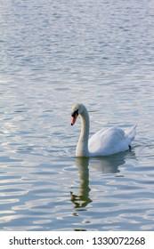 A goose swim on water