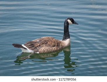 Goose swimming in the water