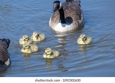 A goose with their baby goslings