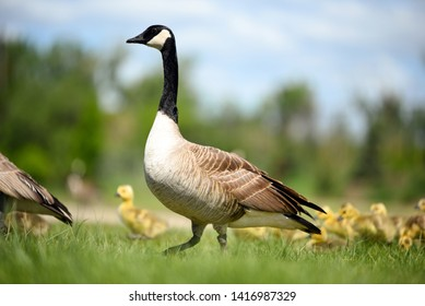 Goose walking with gosling chicks behind