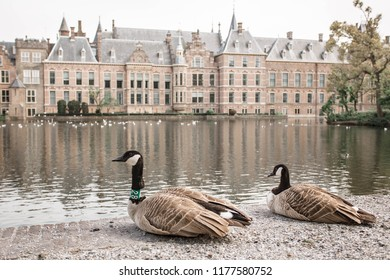 Goose walks in front of the Binnenhof Palace in The Hague (Den Haag). Ducks on the Dutch Parliament buildings background. The Netherlands, The Hague.