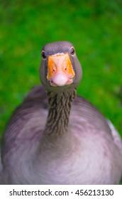 Goose watching