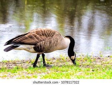 Goose in wetlands by water