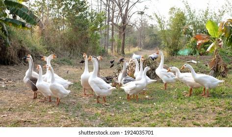 Goose(Anser indicus) in my farm.