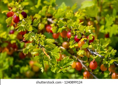 Gooseberries on bush branch. Gooseberries on bush. Gooseberries in garden. Summer berries in Latvia