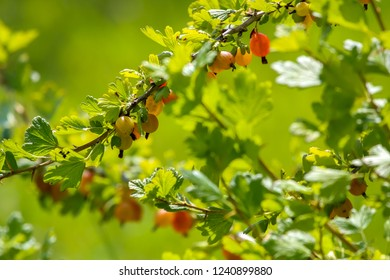 Gooseberries on bush branch. Gooseberries on bush. Gooseberries in garden. Summer berries in Latvia.