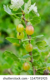 gooseberry berries on a branch in the garden