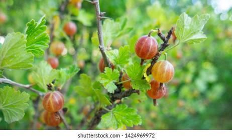 Gooseberry fruit in the garden. Gooseberry Harvest