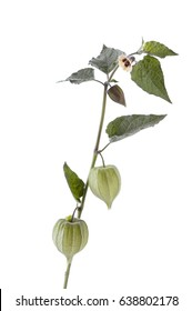 Gooseberry plant and fruit isoldated against white background