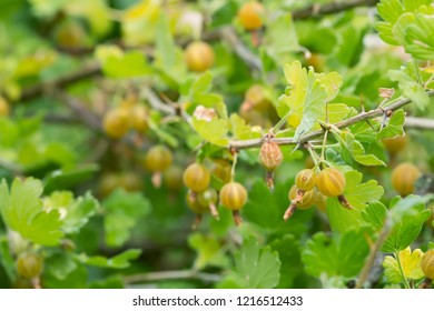 Gooseberry, Ribes uva-crispa bush with berries