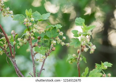 Gooseberry, Ribes uva-crispa bush with flowers, reflections in the background