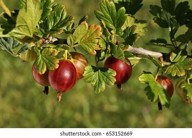 Gooseberry (Ribes uva-crispa L.), European gooseberry, fruit on the bush.