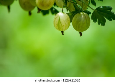 Gooseberry at the top of the photo. Green background. View in the garden