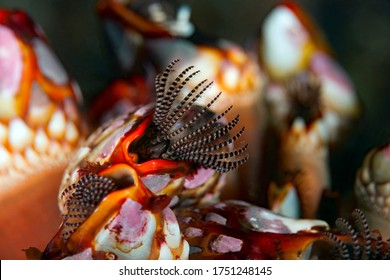 Gooseneck barnacles, Pollicipes polymerus, Nakwakto Rapids