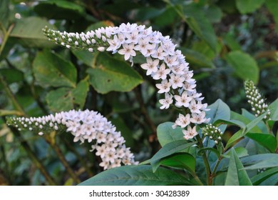 Gooseneck (Lysimachia Clethroides) - Primulaceae