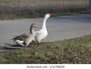 Gooses on pasture border in rural farm