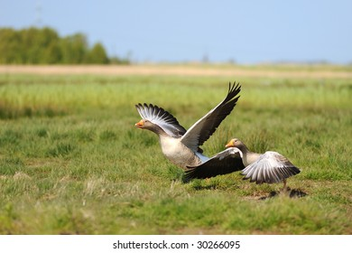 Gooses ready for take off