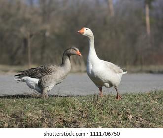 gooses walk on rural pasture