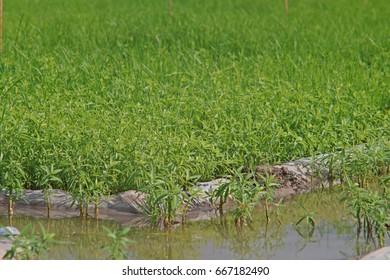 gooseweed, broadleaves weed in rice