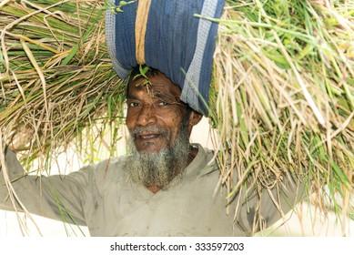 Gopalgonj, Bangladesh - October 07, 2014: bangladesh Farmer Binding Bundle of Paddy Crop in the Field Outdoor at Gopalgonj, Bangladesh.