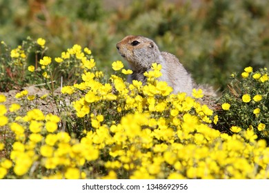Gopher among yellow flowers. Arctic ground squirrel (Urocitellus parryii or Spermophilus parryi), also called the Evrazhka. Wildlife of the North. Chukotka, Siberia, Far East Russia. Summer. Close-up.