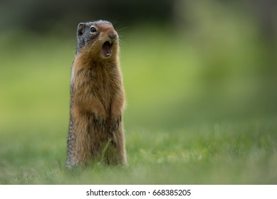 Gopher in Canada's Banff National Park