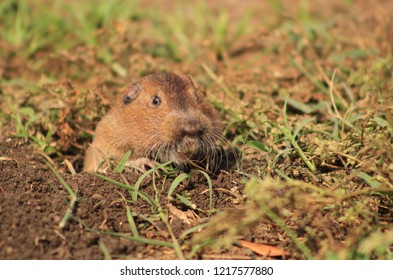 A gopher digging a hole in a field