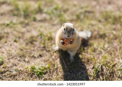 gopher eats cookies in a field of grass, close up