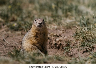 Gopher in the field on the grass