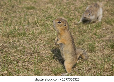 Gopher genus  rodents of the squirrel family. The gopher is known for his habit of standing up, it is a kind of act of research.
