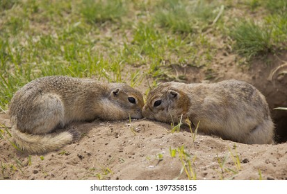 Gopher genus  rodents of the squirrel family. Two gophers eat food near the burrow.