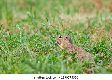 Gopher in the grass
