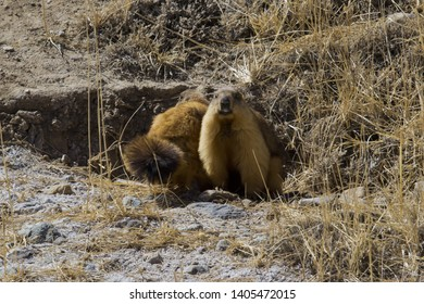 The gopher in the Kyrgyz mountains