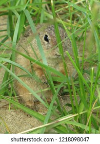 Gopher looks out of the grass
