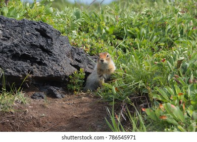 The gopher looks out from under a stone