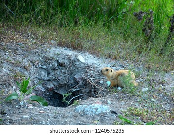 gopher near his hole