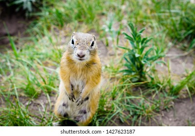 The gopher on its hind legs looks straight into the camera. Wild animals of the steppes.