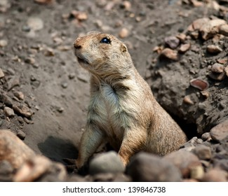 A gopher peeking out of a hole.