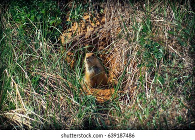 The gopher sits in a burrow and emerges from it