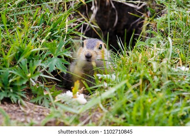 The gopher slipped his muzzle out of the mink. Gopher in the steppe of Bashkortostan