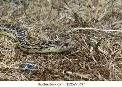 Gopher Snake up close
