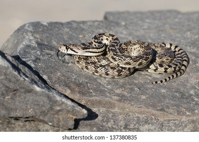 Gopher Snake on a Rock