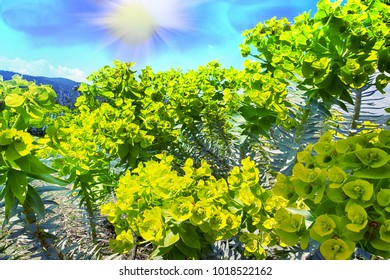 Gopher spurge (upright myrtle spurge, Euphorbia rigida) on dry plateau of Taurus mountains on background of hills and sun, succulent plant for alpine garden, poisonous plant. Turkey, Asia Minor