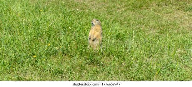 gopher stands among the grass in a forest clearing