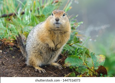 The gopher stands on its hind legs on the ground and looks ahead with interest